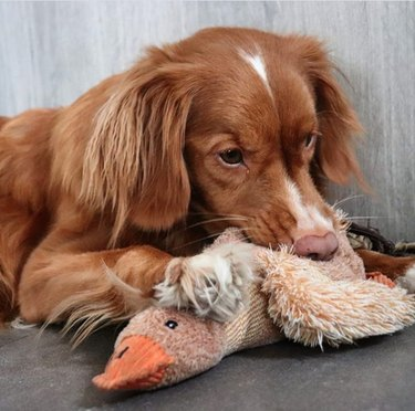 a dog with a duck toy
