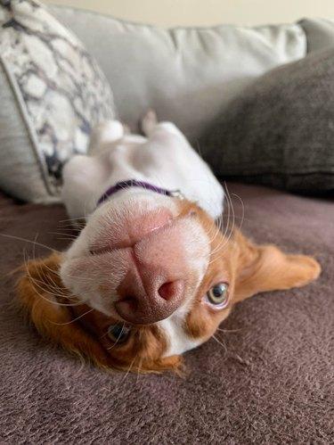 Dog laying on its back