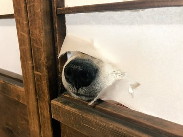Dog's nose poking through paper of Japanese screen wall