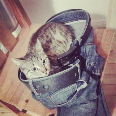 Cat sitting in a pair of pants.