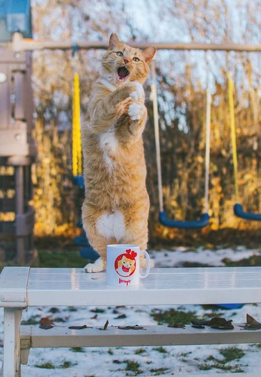 cat standing up on hind legs