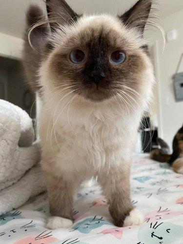 ragdoll siamese cat on bed
