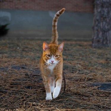 orange cat slinking towards camera