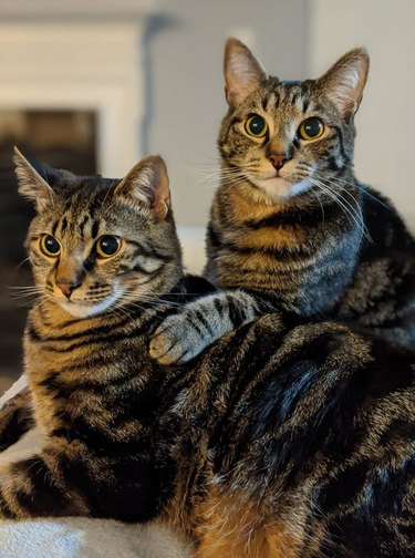sibling cats cuddle for picture