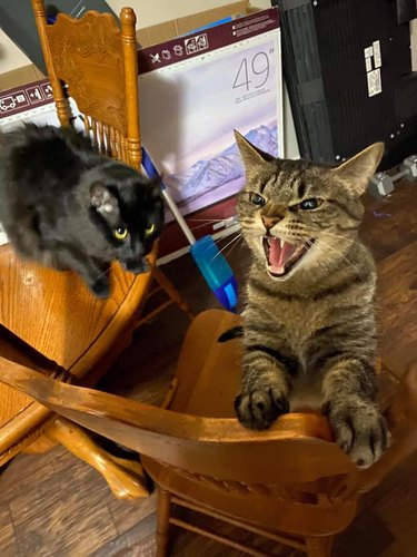 snarling cat is angery