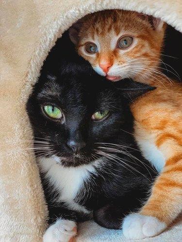 orange kitten and tuxedo cat