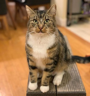 buff cat named rambo stallone