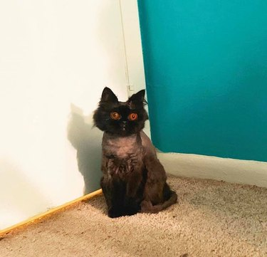 puffy cat with bright orange eyes