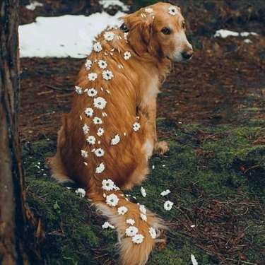 Dog with flowers braided down its back and tail