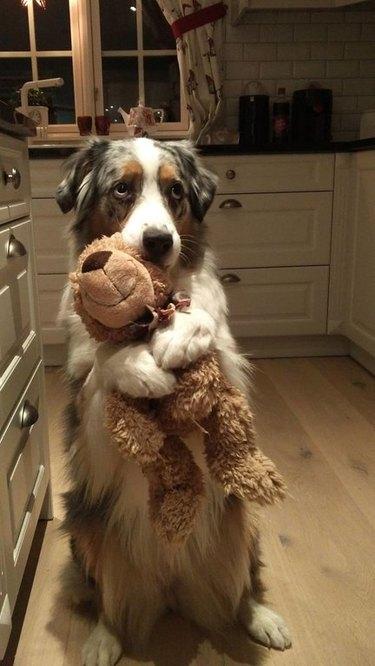 Dog holding a teddy bear.