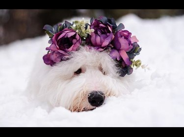 white fluffy dog with purple flower crown