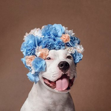 white dog in big blue flower crown
