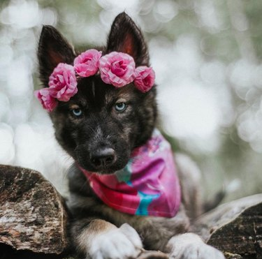 husky puppy with pink flower crown and bandana