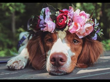 dog wearing peony flower crown