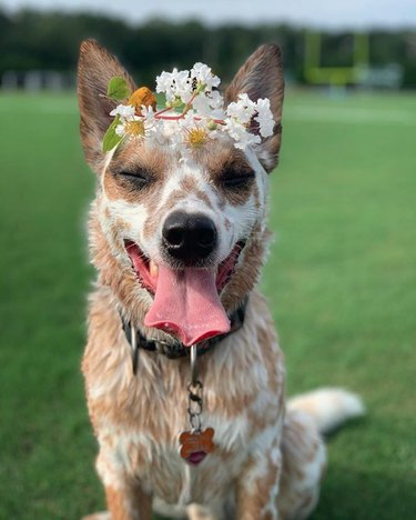 dog in white flower crown