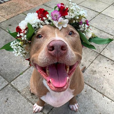 smiling pitbull in flower crown