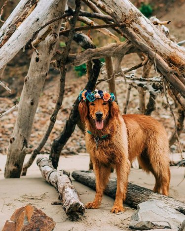 dog in blue and orange flower crown