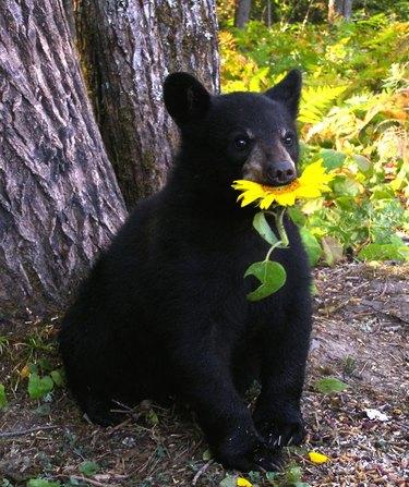 black bear eating a flower