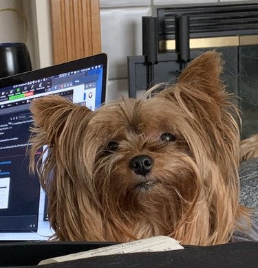 longhaired dog looking at camera with laptop behind her