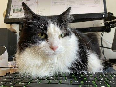 cat on laptop keyboard