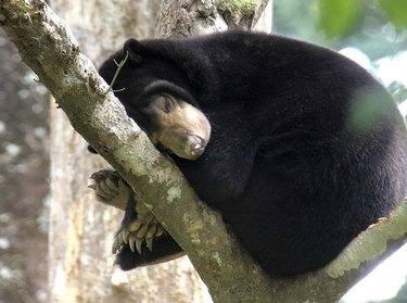 sleeping sun bear