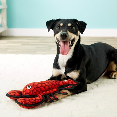 dog plays with stuffed lobster dog toy