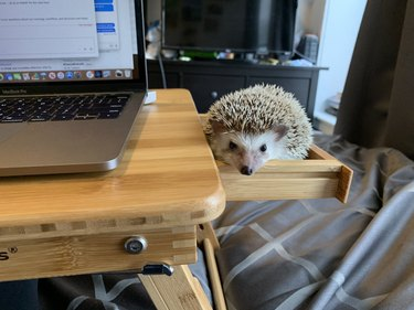 hedgehog in drawer next to table and laptop