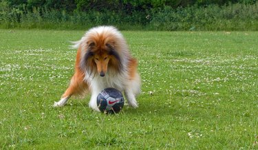 Collie with soccer ball