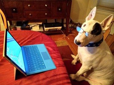 dog wearing glasses at computer