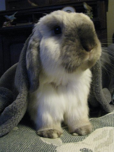 bunny under blankets