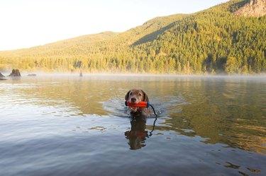 dog fetches amphibious bumper