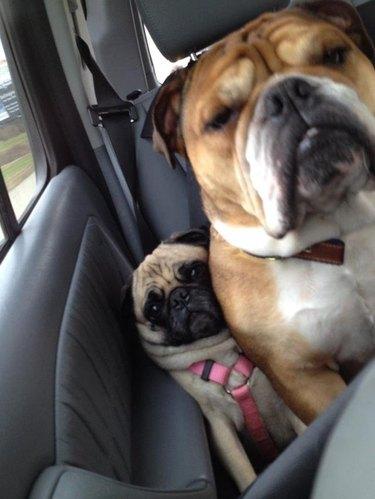 Bulldog squishing pug against side of car door.