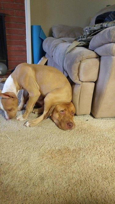 Puppy sitting on older dog's head