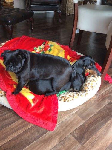 Pug sitting on dachshund.