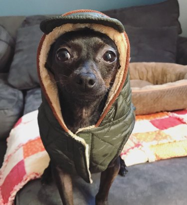 chihuahua wears hat and vest