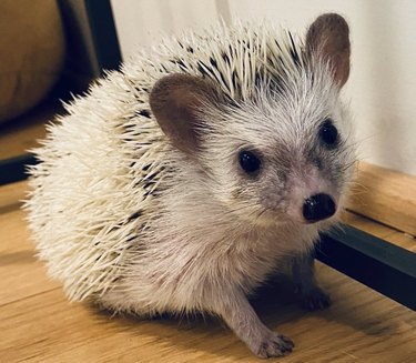 hedgehog helps teacher teach