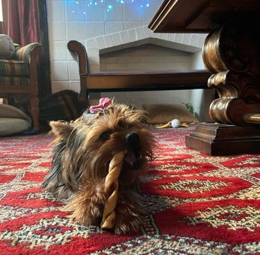 a yorkie chewing on a bone