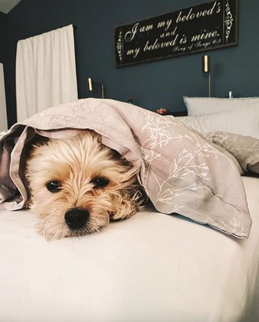 a dog peeking out from under a blanket