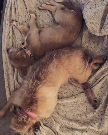 two dogs lying with their backs against each other