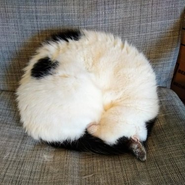 Black and white cat curled into a ball.