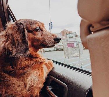 a dachshund looking out a car window