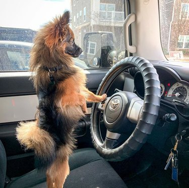 dog standing in the driver's seat of a car