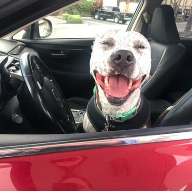 a pitbull sitting in the driver's seat of a car