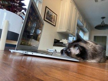 cat sleeps on open laptop