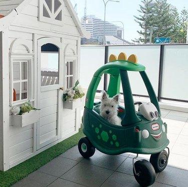 a westie inside a toy car
