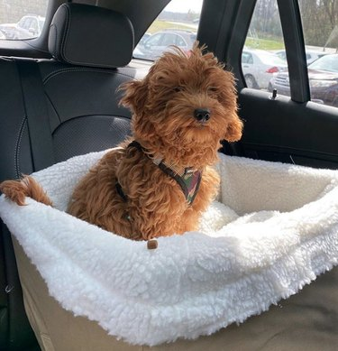 dog in a comfy basket in the backseat of a car