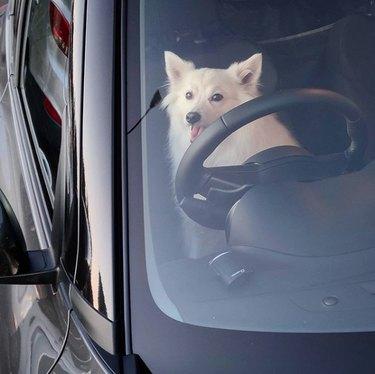 a spitz behind the wheel