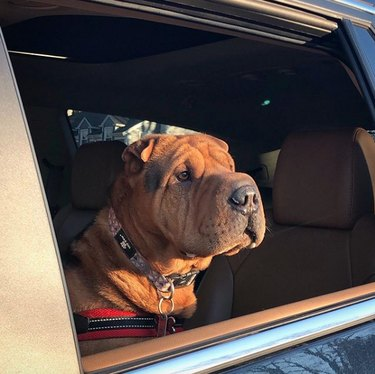 a sharpei looking out the car window