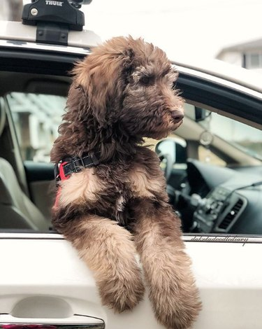 brown doodle hanging out the passenger side of car