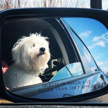 white fluffy dog in side mirror